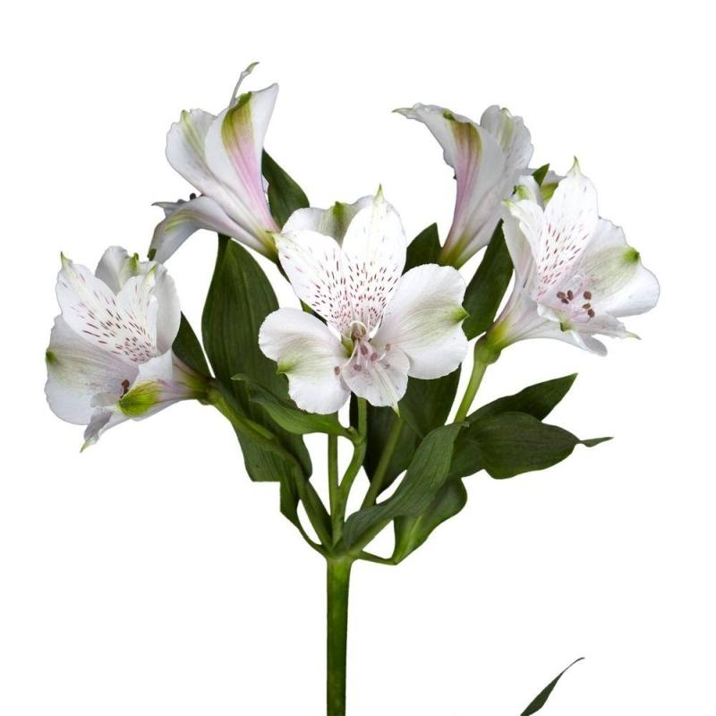 White Alstroemeria in Ukraine