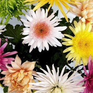 send Chrysanthemums Ukraine 1